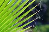 Spitzen eines Palmblatts