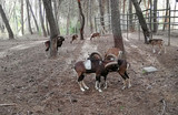Goats of strong antlers in the nature - 231470970