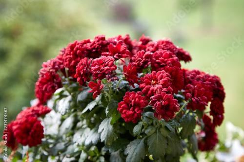 Rote schöne Blüten Blumen Makro aufblühend