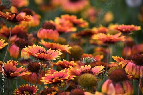 Leinwanddruck Bild Blütenmeer