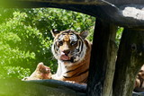 Tiger Portrait Genuss satt Appetit schlecken