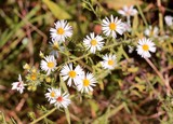 Some small daisies in the field on a close up view.