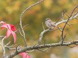 Moineau domestique sur une branche