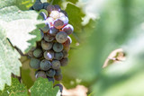 Bunch of red grapes on the vine - 231499145