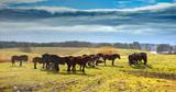 Fototapeta Horses - Konie NaPastwisku  © jesiotr9