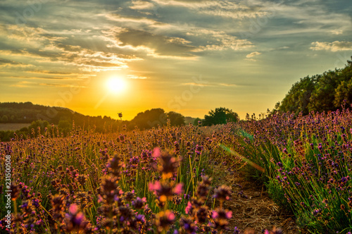 sunset over the lavender field - 231500508