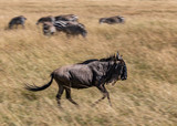 Wildebeest, Connochaetes taurinus, also known as a Gnu running in the tall grass of the savannah of the Masai Mara, Kenya, with zebra in the blurred background © Isabelle