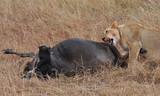 lioness eating antelope - 231501368