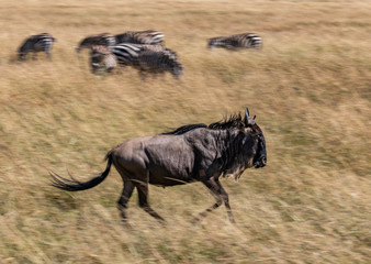 Wildebeest, Connochaetes taurinus, also known as a Gnu running in the tall grass of the savannah of the Masai Mara, Kenya, with zebra in the blurred background