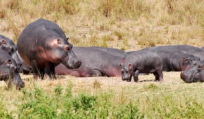 hippopotamus in savannah
