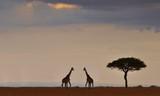 Giraffes in national park - 231501539