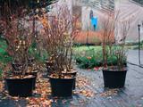Duże sadzonki dorosłe krzewy borówki amerykańskiej w donicach na szkółce - 231508525