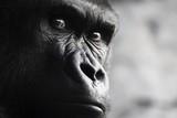 Gorila - 231508915
