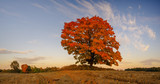 lonely tree in autumn colors in a plowed field - 231512163