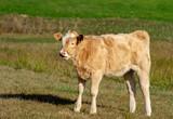 calf on an autumn pasture - 231514100