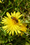 a bee pollinating a dandelion - 231518990