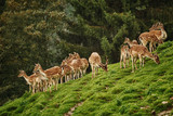 Deers near the Forest - 231532504
