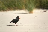Variable oystercatcher on the shore - 231535583