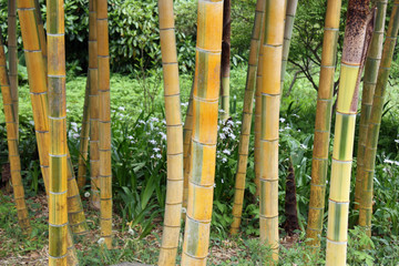Bambous au Japon © JFBRUNEAU