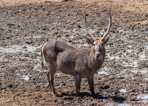 Waterbuck drinking water at a waterhole in the Mokala national Park in South Africa - 231539977