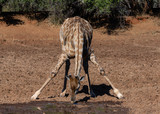 giraffe drinking water in Mokala National Park in South Africa - 231541163