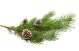 pine branch with cone - 231542756