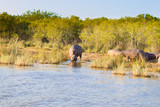 Herd of hippos sleeping, Isimangaliso Wetland Park, South Africa - 231546140