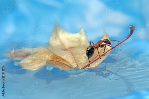 Ant is sitting on a small leaf, reflected in the water.