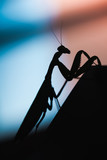 Mantis. Black insect silhouette - 231553356