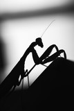 Black silhouette of mantis insect - 231553365