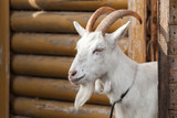 White goat looks out of a wooden barn - 231553386