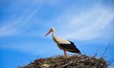 stork standing in nest  (5)