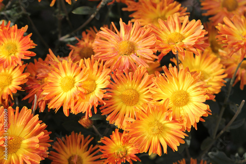 Hardy chrysanth (Chrysanthemum koreanum) or Hardy Mum. Cultivar with yellow-orange flowers