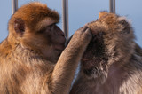 Concentrated monkey picking fleas from another and covering its eyes. - 231565101