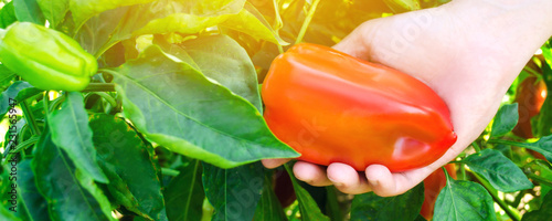 the farmer is harvesting the pepper in the field. fresh healthy organic vegetables. agriculture. selective focus