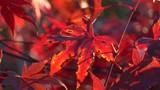 blutrote Blätter des Japanischer Ahorn (Acer japonicum) oder Thunbergs Fächer-Ahorn im Herbst - 231569343