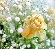 Beautiful bouquet of yellow roses and white little flowers with blur background