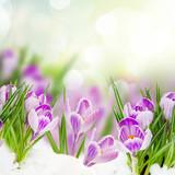 spring crocuses flowers under snow on garden bokeh background close up - 231570163