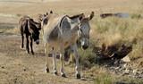 Os burros - 231577599