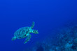 Leinwandbild Motiv A turtle in the warm water of the Caribbean sea. This salt water reptile is happy on the ecosystem provided by the coral reef
