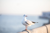 Larus brunnicephalus, Seagull, is a medium to large bird. , Gray or white hair, long mouth, and large feet. Are combined into a large crowd. Trivia along the coast - 231608994
