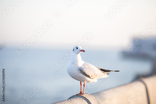 Leinwandbild Motiv Larus brunnicephalus, Seagull, is a medium to large bird. , Gray or white hair, long mouth, and large feet. Are combined into a large crowd. Trivia along the coast