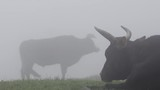Two cows eating grass while grazing near Dharamsala town on foggy day - 231617922