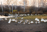 Geese near small pond in the countryside. Selective focus. - 231620182