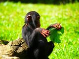 Bébé chimpanzé - 231622907