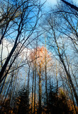 Vertical autumn tree trunks landscape background - 231629116