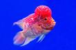 Leinwandbild Motiv Colorful patterned  Red cichlid fish  on a blue background.