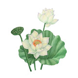 Lotus and Water Lily isolated on white background .Lotus and Water Lily  Hand painted Watercolor illustrations.