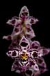 purple orchid flower on dark background