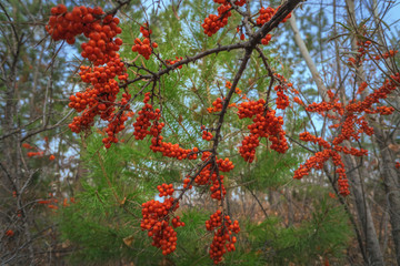 Bright colors of autumn nature, sea buckthorn berries